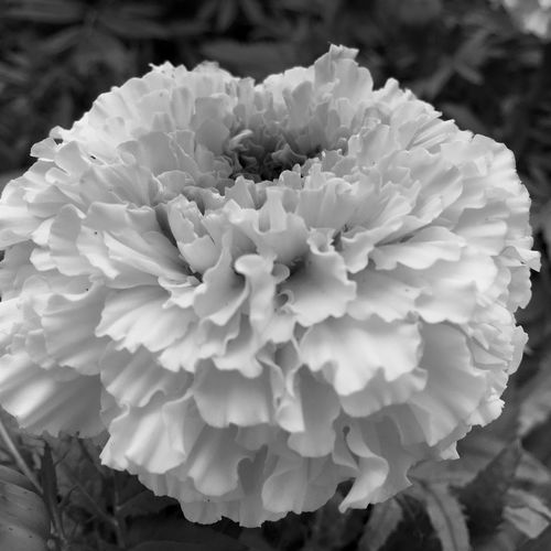 My Friday b&w post... July 2016 Summer 2016 Black And White Photography Black And White Flower Collection Black And White Monochrome Marigolds Texture In Nature Flowers,Plants & Garden Garden Photography Flowers, Nature And Beauty Flower Photography Flower Collection Flowerphotography