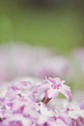 芝桜 Flowers Taking Photos At 羊山公園 芝桜の丘