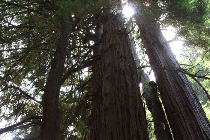 Avenue Of The Giants Beauty In Nature Branch California Redwoods Day Forest Green Color Growth Low Angle View Nature No People Outdoors Redwood Trees Redwoods Scenics Sky Sunlight Tall Tall - High Tranquil Scene Tranquility Tree Tree Trunk Trees WoodLand