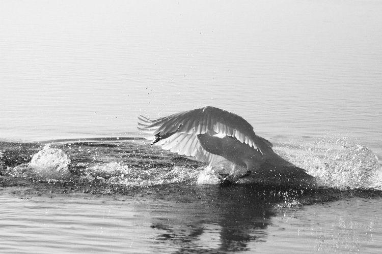 Animal B&w Balance Beauty Bird Birds Black And White Dynamic Lake Landing Nature Swan Swans Water Wings Winter 天鵝 鳥