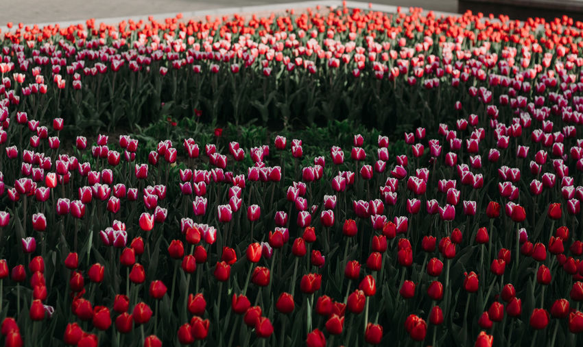 red tulips Flower Flowering Plant Plant Red Beauty In Nature Growth Backgrounds Full Frame Abundance Freshness Tulip Flower Head Fragility Vulnerability  Inflorescence Nature Land Petal Field No People Flowerbed Outdoors