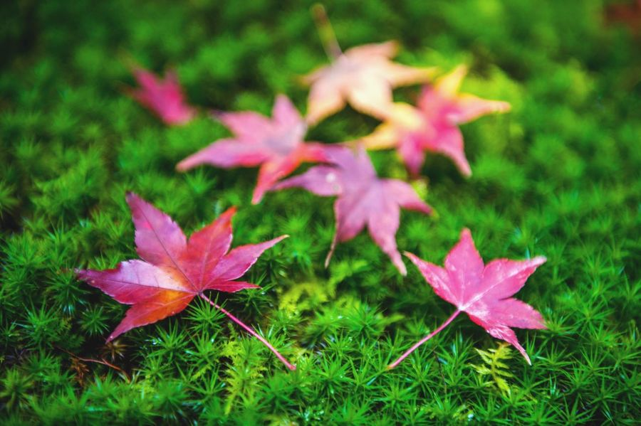 Yellow and red Japanese maple leaves fallen on green mossy ground during autumn Leaf Nature Autumn No People Change Fragility Close-up Day Beauty In Nature Maple Leaf Outdoors Maple Plant Flower Grass Yellow Red Japan Fall