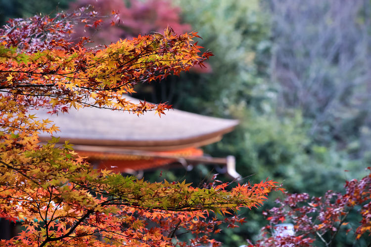 Maple EyeEm Gallery EyeEm Nature Lover From My Point Of View Japanese Culture Japanese Garden Japanese Temple KiyomizuTemple Maple Leaf Maple Tree My Year My View Nature Nature Photography Naturelovers Outdoor Photography