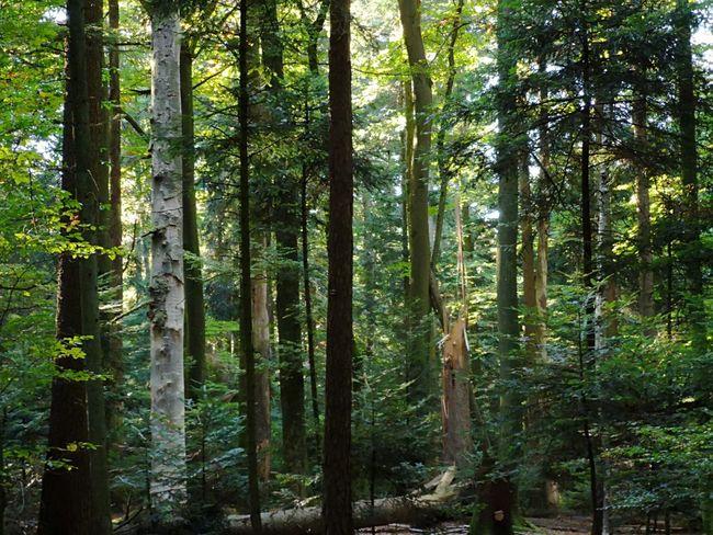 ▫️ Storm damage ▫️ Swiss Forest First Eyeem Photo Eyemphotography EyEmNewHere Eyemnaturelover Beauty In Nature EyeEm Selects Tree Tree Area Forest Tree Trunk