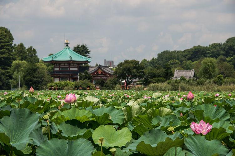 Japan Summer Views Lotus Pond 蓮の花
