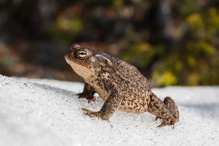 Common toad (Bufo bufo) enjoying spring sunshine on top of snow pile. Bufo Bufo Cooling  Frog Ice Toad Amphibian Animal Themes Animal Wildlife Animals In The Wild Close-up Day Focus On Foreground Handsome Nature No People One Animal Outdoors Snow Spring Sunbathing Sunny Day Sunshine