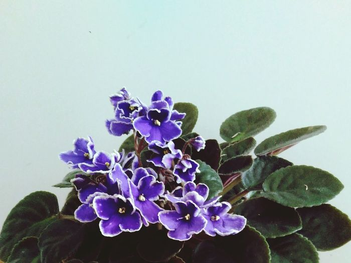 Flower Plant Potted Plant Flowering African Violet Blooming