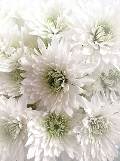 Flower White Color Petal Flower Head Fragility Backgrounds Full Frame No People Beauty In Nature Freshness Nature Chrysanthemum Dahlia Close-up Indoors  Bouquet Day Gerbera Daisy White Background White Flowers Floral Photography EyeEm Masterclass