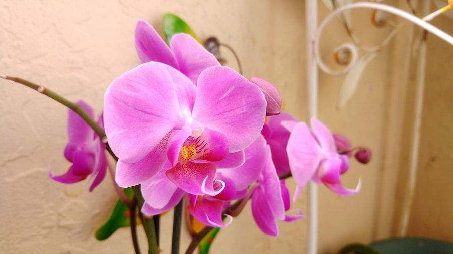 Nature Photography Flower Orchids Orchid Blossoms Purple Flower Homegrown Love Stockphotography Stockphoto Botany Botanic Bloom Agriculture Photography Flowers,Plants & Garden Flower Head Flower Photography Colour Of Life Growing Better Growth In Bloom Growth Nature Close-up Close-up