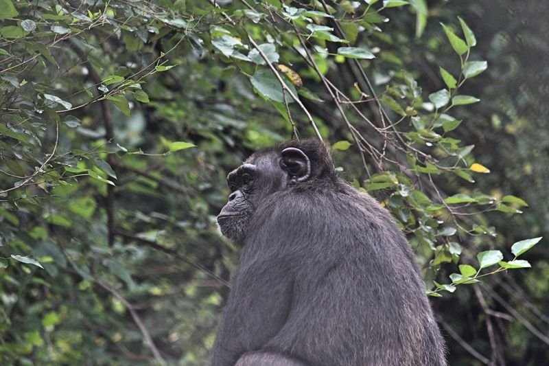 No I won't be posing for you..!! Gorrilla Animal Themes Animal One Animal Animals In The Wild Animal Wildlife Mammal No People Vertebrate Plant Nature Day Tree Outdoors Focus On Foreground Animal Body Part Close-up Beauty In Nature Portrait Animal Head  Growth
