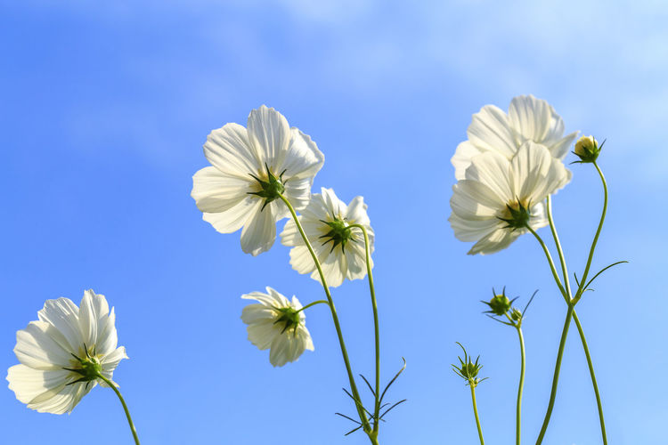 Close-Up Of White Flowering Plants Against Blue Sky