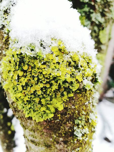 Nature Growth Close-up Tree Outdoors Green Color Beauty In Nature Cold Temperature Lichen Winter ColdSeason Snow Branch Bark