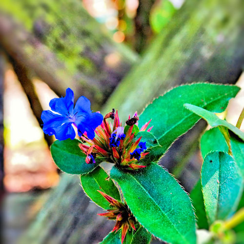 Bleiwurzgewãchse Plumbaginaceae Nature Flower Leaf Day Outdoors Insect Plant Growth Fragility Freshness Close-up Beauty In Nature No People Animals In The Wild Flower Head Animal Themes One Animal Focus On Foreground Bleiwurz Bleiwurzblüten