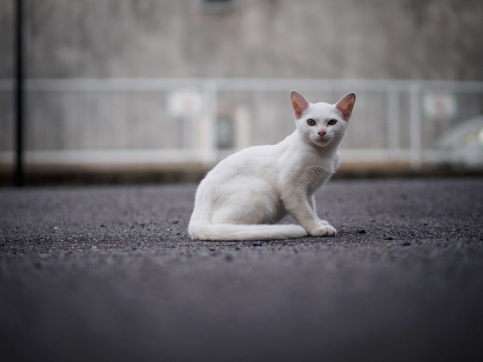 Surface Level Of White Cat Sitting On Road