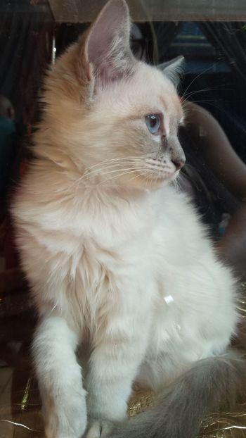 Salon du chat Toulouse 2016 Domestic Animals Cat Domestic Cat Animal Beautiful French Chat Minou Rawr! Félin  Pets Ragdoll