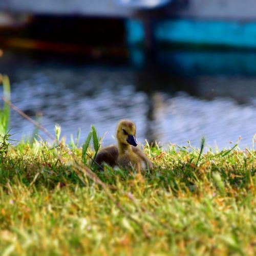 Outdoors Non-urban Scene Day Nature Beauty In Nature Tranquility Duck Green Color