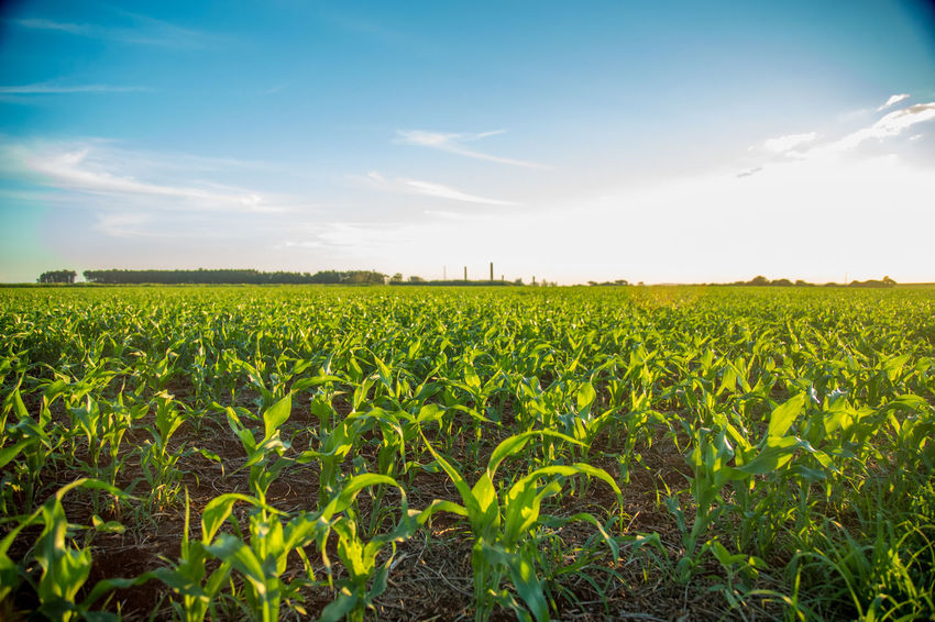 Agriculture Beauty In Nature Cereal Plant Crop  Day Farm Field Growth Landscape Nature No People Outdoors Rural Scene Scenics Sky Sorghum Tranquility