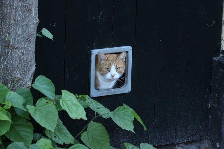Cat Peeking Through Wooden Wall