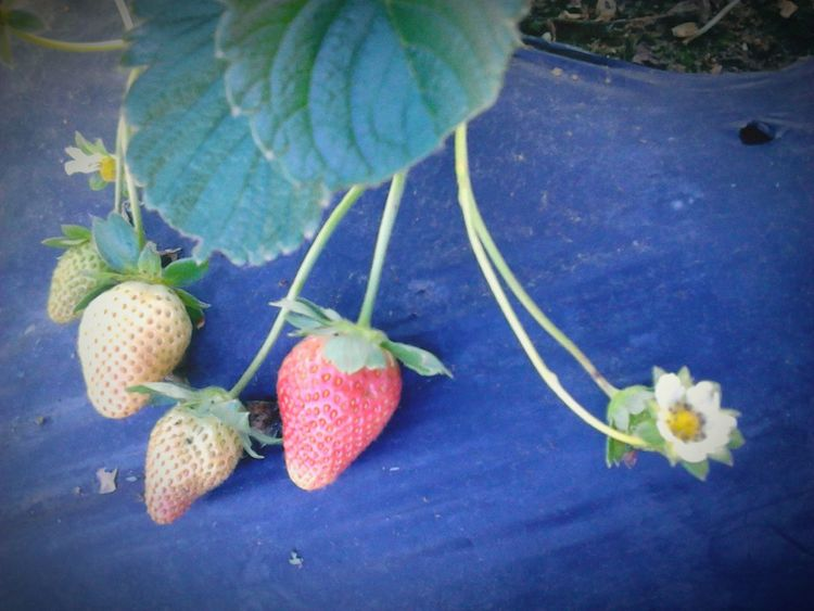 RePicture Growth Fruits Strawberries Guatemala City