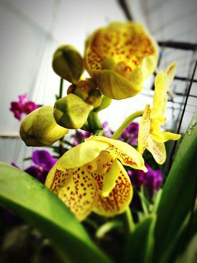 First Eyeem Photo Orchid Flower Vanda Iphone 6 Close Up