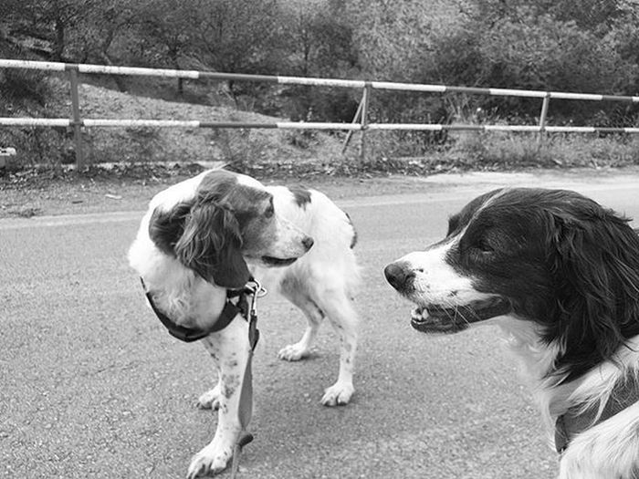 Are you sure its safe to stand in the road and take pictures? Brittanyspaniel Brittanyspaniels Brittanyspanielsofinsta Dogstagram Dogsofinstagram Rescuedogsofinstagram Dogs Dog Rescuedog Rescuedogs Blackandwhitephotography Blackandwhite Bnw Bnw_maniac Bnwlovers Monochrome Bnw_lover Bnw_lovers Mono