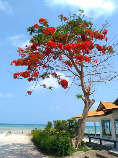 Ko Samui, Thailand Tree Cloud - Sky Sky Red Sea Outdoors Beauty In Nature Nature Water Day Blue Beach Growth No People Horizon Over Water Tranquility Scenics Travel Destinations Branch Nature Landscape Beauty In Nature Archipelago Sea Life Sea View