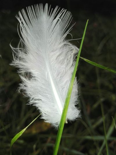 White Feather Feather On Grass Close-up Stem Grass Beauty In Nature Softness Outdoors Nature Botany