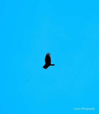 Beauty In Nature Blue Clear Sky High Section Nature Outdoors Tranquility Vulture