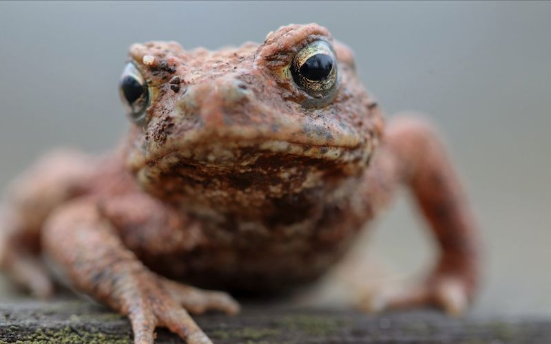 Toad (Bufo