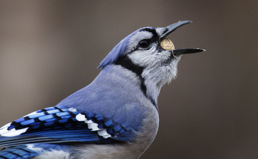 Deep throat Blue Jay Swallowing What? Animal Animal Body Part Animal Head  Animal Themes Animal Wildlife Animals In The Wild Beak Bird Close-up Focus On Foreground Looking Looking Away Nature No People One Animal Outdoors Perching Profile View Side View Swallowing Vertebrate