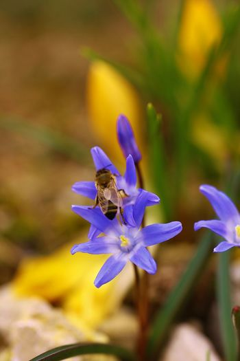 Scilla sp. Animal Themes Animals In The Wild Beauty In Nature Bee Blooming Buzzing Close-up Day Flower Flower Head Flying Focus On Foreground Fragility Freshness Growth Insect Nature No People One Animal Outdoors Petal Plant Pollination Purple
