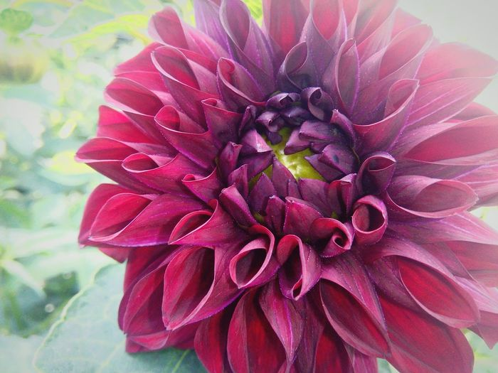 Flower Petal Flower Head Nature Beauty In Nature Close-up Fragility Growth Plant Red Pink Color Freshness Day No People Outdoors Dahlia