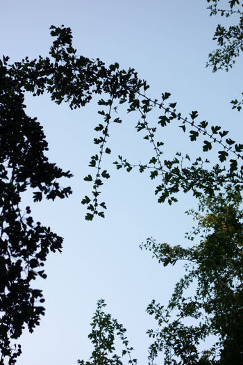Low angle view of silhouette trees against clear blue sky