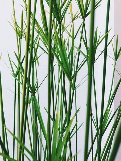 Growth Plant Green Color Beauty In Nature Close-up Nature Grass No People Day Tranquility Blade Of Grass Selective Focus Outdoors Freshness Leaf Fragility Plant Part Green Vulnerability  Field Bamboo - Plant Stalk