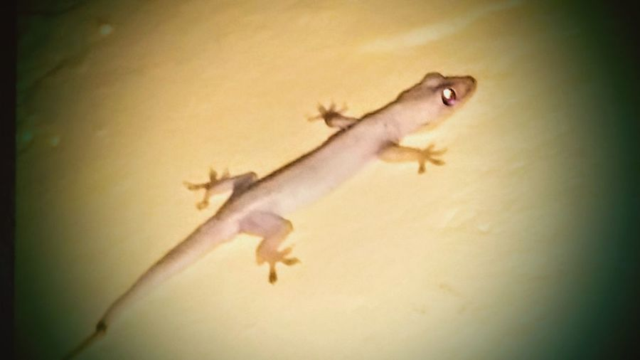 Natures Diversities House Gecko Naturesperfection ❤gecko
