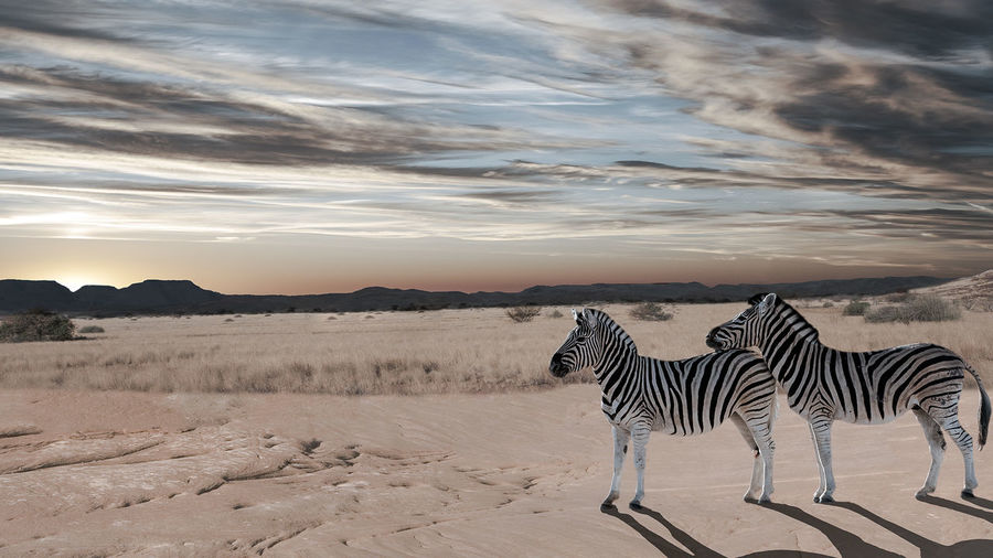 Scenic view of zebras on sand at desert against sky