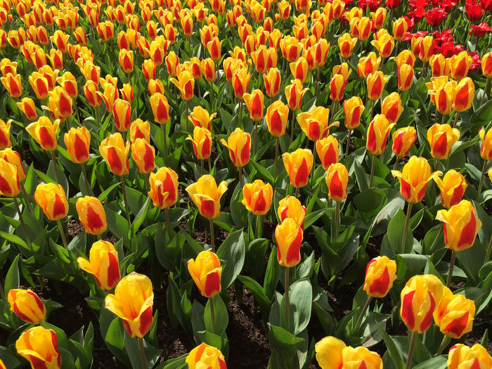 Close-Up Of Fresh Orange Tulips Blooming In Field