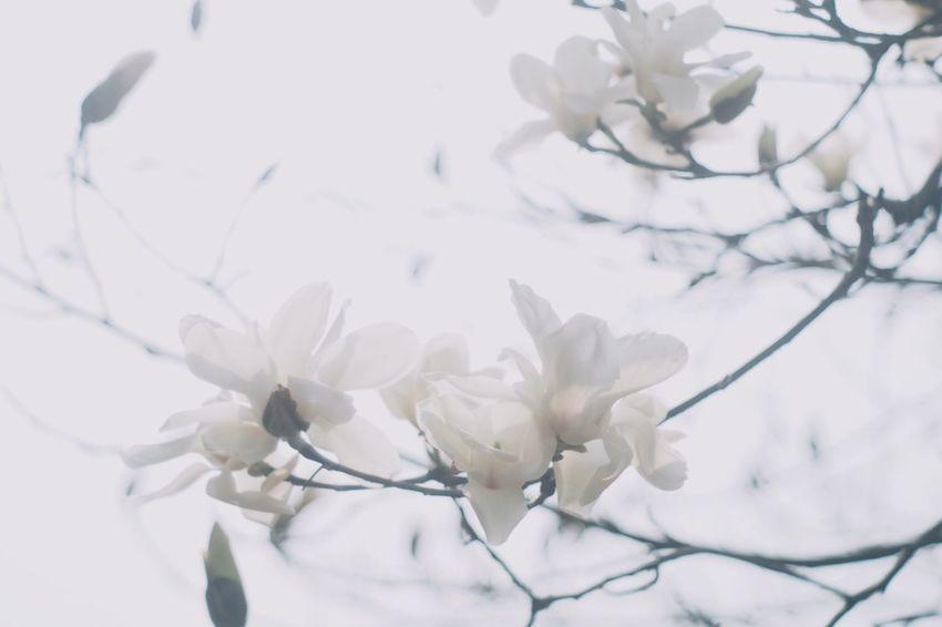 Magnolia Magnolia Flower Magnolia_Blossom Spring Flowers Flowers Flower Sepia