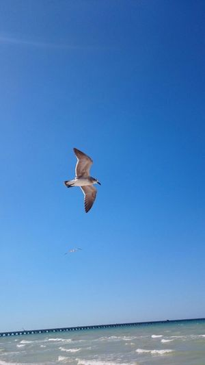 Blue Flying Bird Clear Sky Animal Themes Nature Animals In The Wild Mid-air Sea One Animal Low Angle View No People Outdoors Water Day Black-headed Gull Full Length Spread Wings Beauty In Nature Scenics Flying Over Your Imagination Flying In The Sky Flying High Flying Bird Flyingbirds