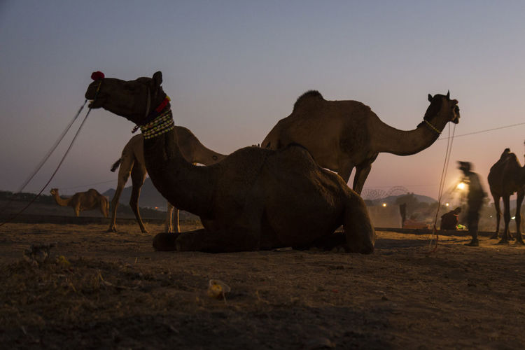 snap shot of camel in early morning at Pushkar, India Camel Domestic Animals Herbivorous Indiapictures Indiatravel Livestock Mammal Morning Sky Nature Outdoors Pushkar Rajasthan Travel Destinations Travel Photography Vacation Working Animal