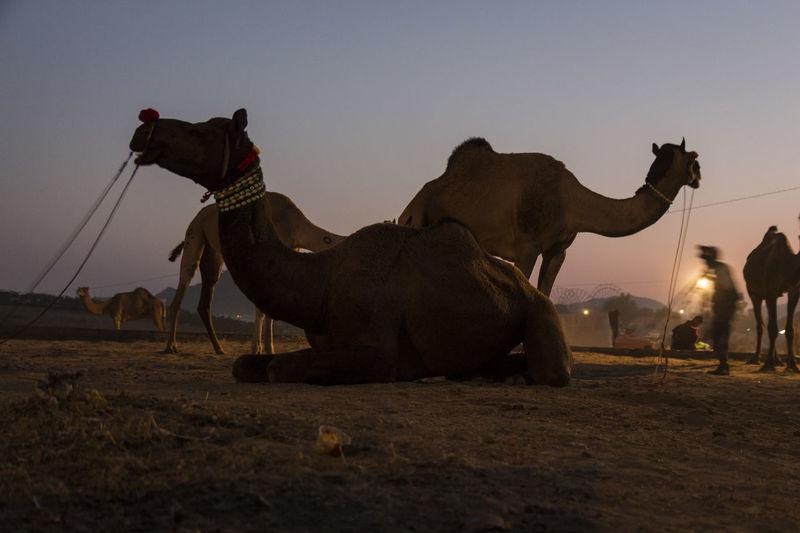 snap shot of camel in early morning at Pushkar, India Camel Domestic Animals Herbivorous Indiapictures Indiatravel Livestock Mammal Morning Sky Nature Outdoors Pushkar Rajasthan Travel Destinations Travel Photography Vacation Working Animal