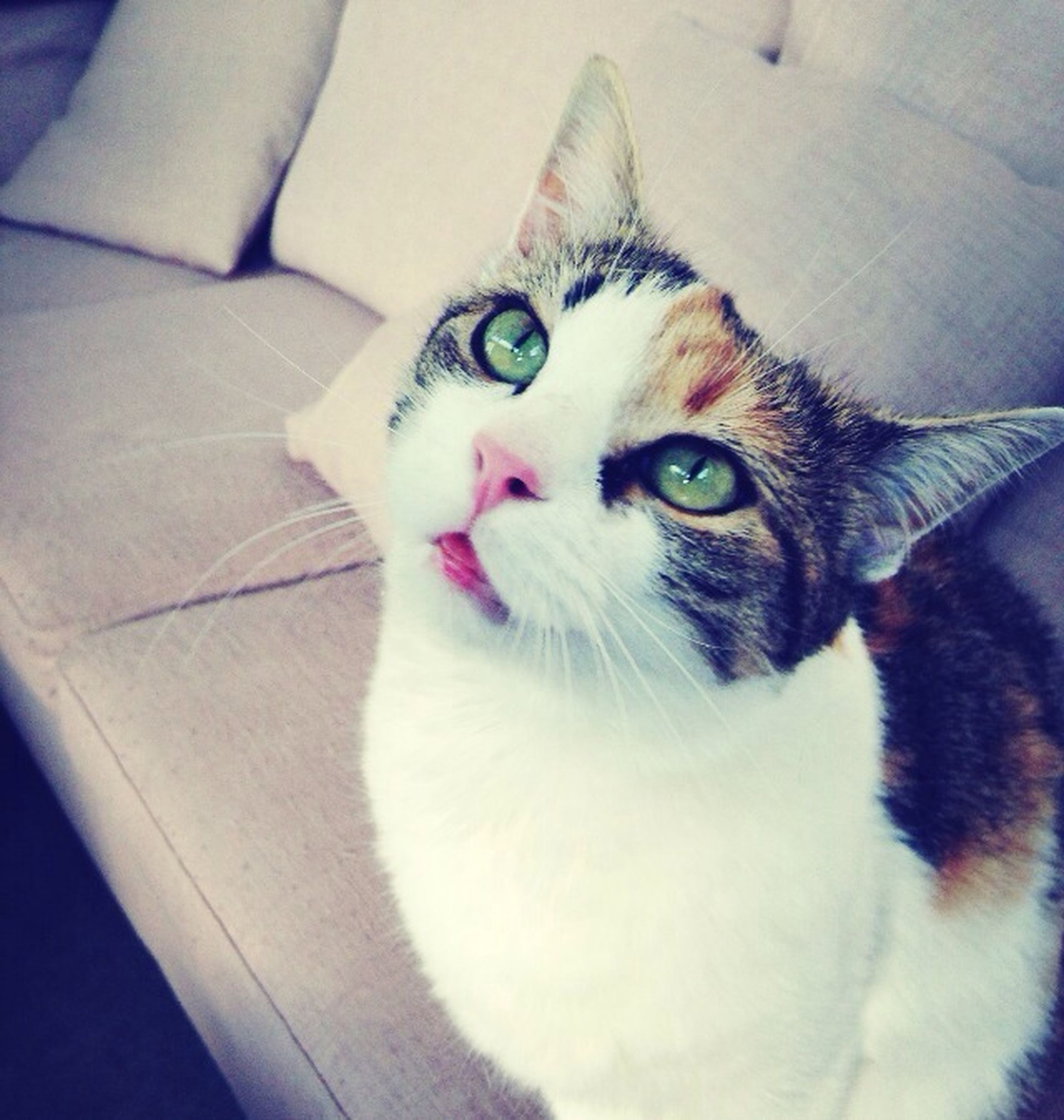 pets, domestic animals, domestic cat, one animal, cat, indoors, animal themes, feline, portrait, mammal, looking at camera, whisker, close-up, animal head, white color, relaxation, alertness, home interior, animal eye, high angle view