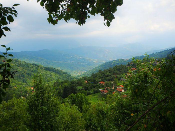 köy Tea Crop