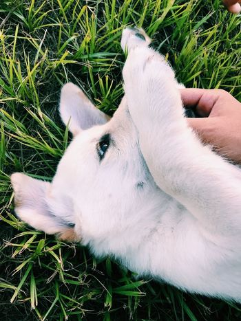 Grass Domestic Animals One Animal Human Body Part Animal Themes Field High Angle View Day Human Hand Mammal Dog One Person Close-up Pets Outdoors Real People Nature People