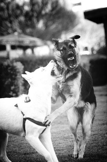 Hard Game Photo Blac&white  Wolf