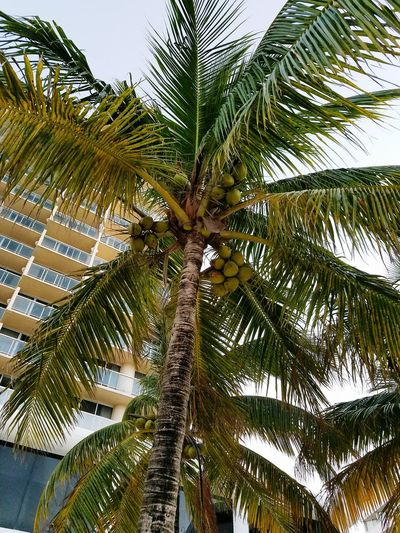 Palm trees coconut