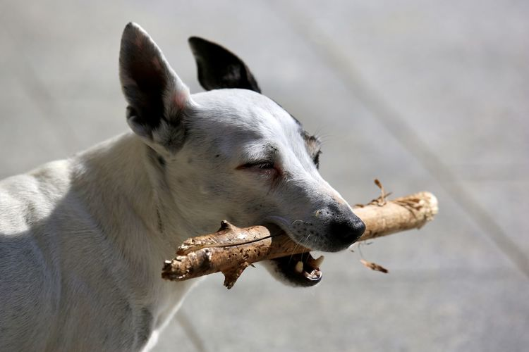 Close-up of a dog looking away with a stick