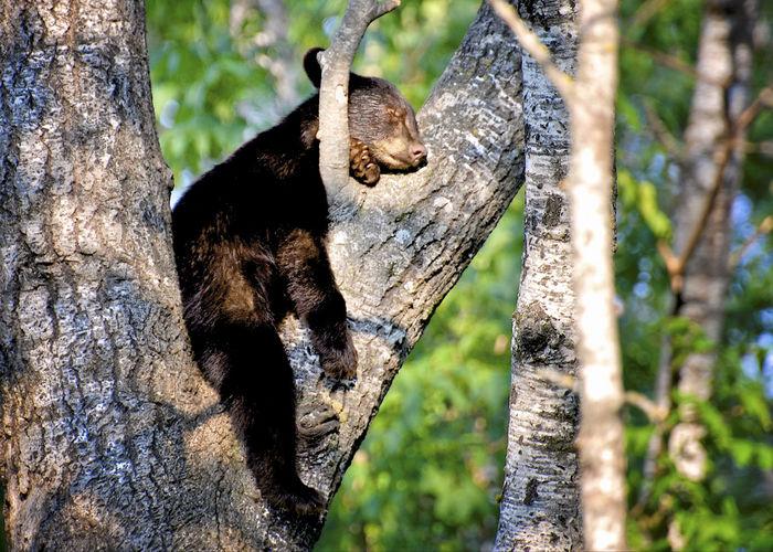 Black Bear Cub Bear Animal Themes Animal Wildlife Animals In The Wild Bear Cub Black Bear Black Bear In A Tree Branch Climbing Close-up Cub Cute Day Mammal Nature No People One Animal Outdoors Sleeping Tree Tree Trunk