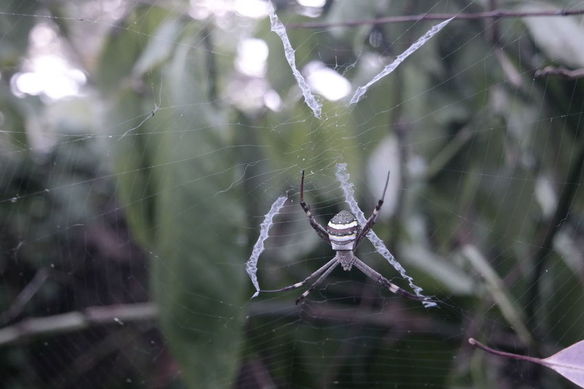 St Andrew's Cross Spider Spider Web Spider Web Focus On Foreground One Animal Survival No People Animal Wildlife Nature Outdoors Animals In The Wild