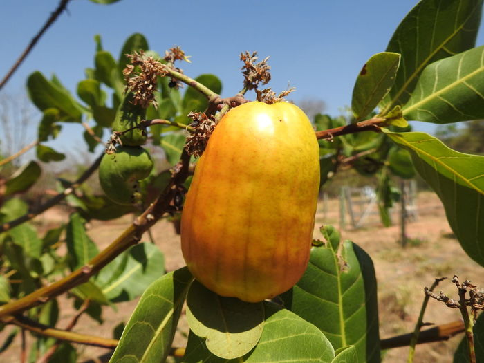 Caju do Cerrado Cashew Tree Fruit Leaf Agriculture Cultivated Close-up Plant Food And Drink Green Color EyeEmNewHere